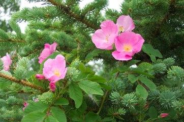 wild-roses-in-pine-234412805886000Wg0
